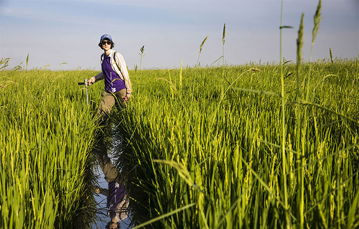 UW graduate student Yasmine Farhat collects soil samples in a rice field in Cambodia.